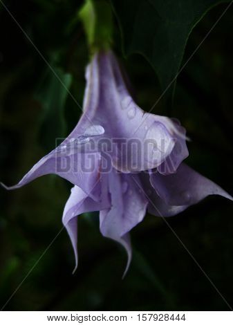 macro photo on a black background, pale lilac flower with drops of autumn rain as a background to the original in design and photo shop