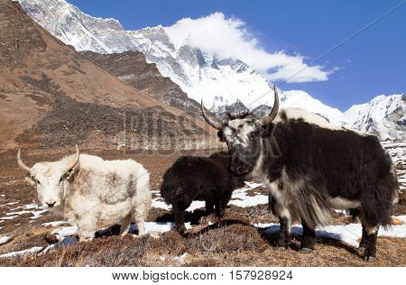 Yaks on the way to Everest base camp and mount Lhotse - Nepal