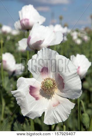 Detail of flowering opium poppy papaver somniferum