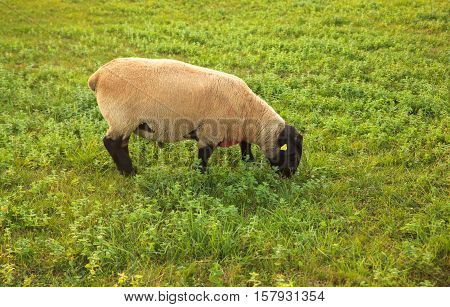 View of Suffolk sheep grazing in the spanish countryside