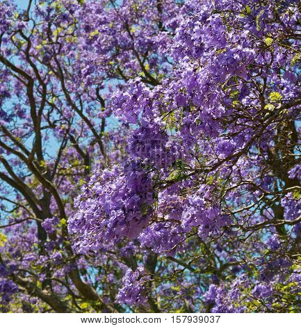 Jacaranda tree bark and stems with Jacaranda flowers in low angle shot