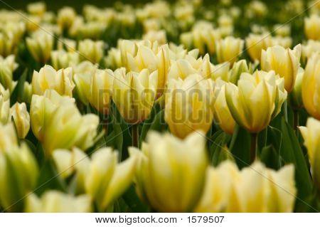 Many Yellow Tulips