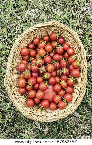 smal red ripe cherry tomatoes in a basket outdoor closeup