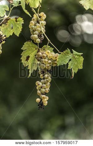 ripe grapes on the vine outdoor macro closeup