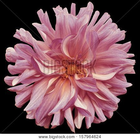 autumn big flower pink-violet yellow center on a black background isolated with clipping path. Closeup. big shaggy flower. for design. Dahlia.