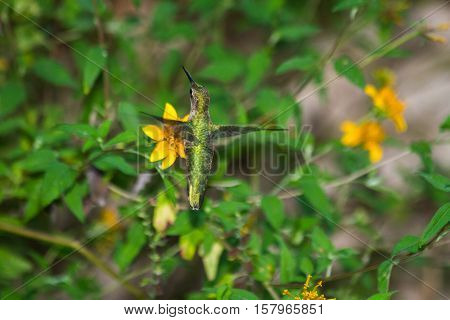 Ruby-throated Hummingbird getting nectar from yellow flower.
