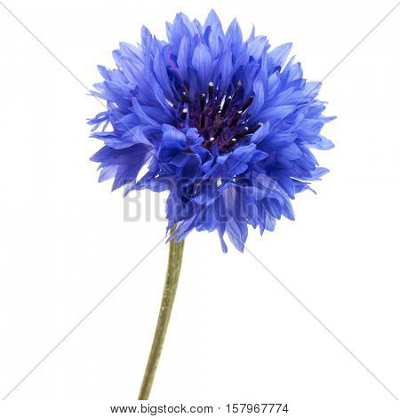 Blue Cornflower Herb or bachelor button flower head isolated on white background cutout poster