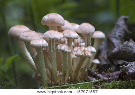 Hypholoma lateritium or brick cap is considered inedible in Europe and edible in USA and Japan