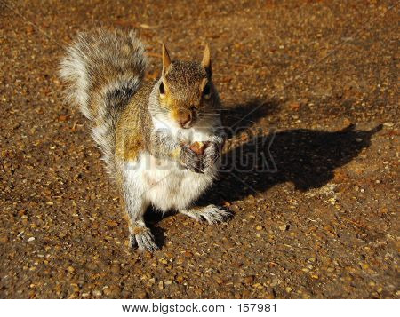 squirrel on ground looking up poster