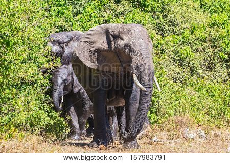 Chobe National Park in Botswana. The concept of exotic tourism. Family of African elephants at the watering in Okavango Delta
