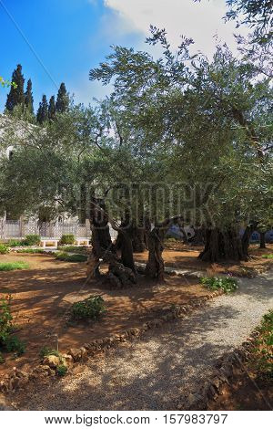 The path between the old olive trees in the Garden of Gethsemane. Location prayer of Jesus before his arrest in Jerusalem