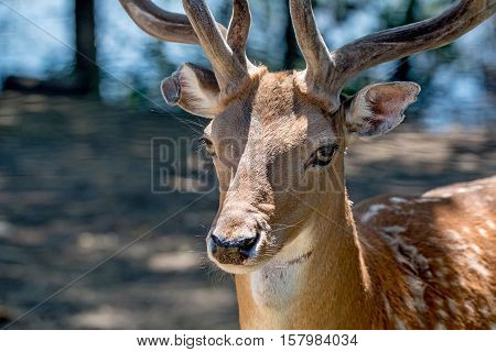 Close-up photography of beautiful fallow deer with horns