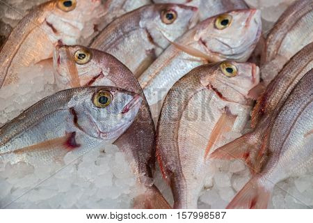 Fresh common pandora or Pagellus erythrinus lithrini fishes on ice in the greek fish shop lined up for sale. Common pandora fishes on ice at fish shop. Horizontal. Daylight. Close up.