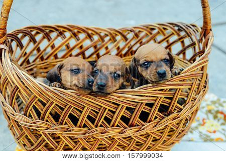 Dachshund Puppy. Dachshund Puppy Portrait Outdoors. Many  Cute