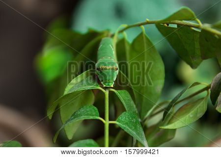 Face of Common Mormon Caterpillar on Curry Leaf Plant.