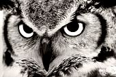 Great Horned Owl Closeup in Black & White poster