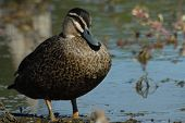 Pacific Black Duck in a dried up billabong in Australia poster