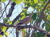 Eurasian Collared Dove perched in a tree on a beautiful sunny day. poster