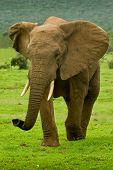 Large male elephant walking on a hot summers day poster