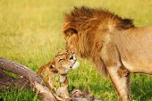 Portrait of beautiful lion and lioness cuddling at African savannah poster