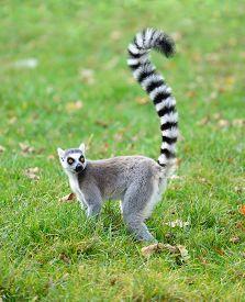 One ring tailed lemur (Lemur catta) in the grass