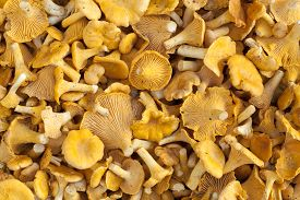 poured out orange mushrooms (Cantharellus cibarius) as food background