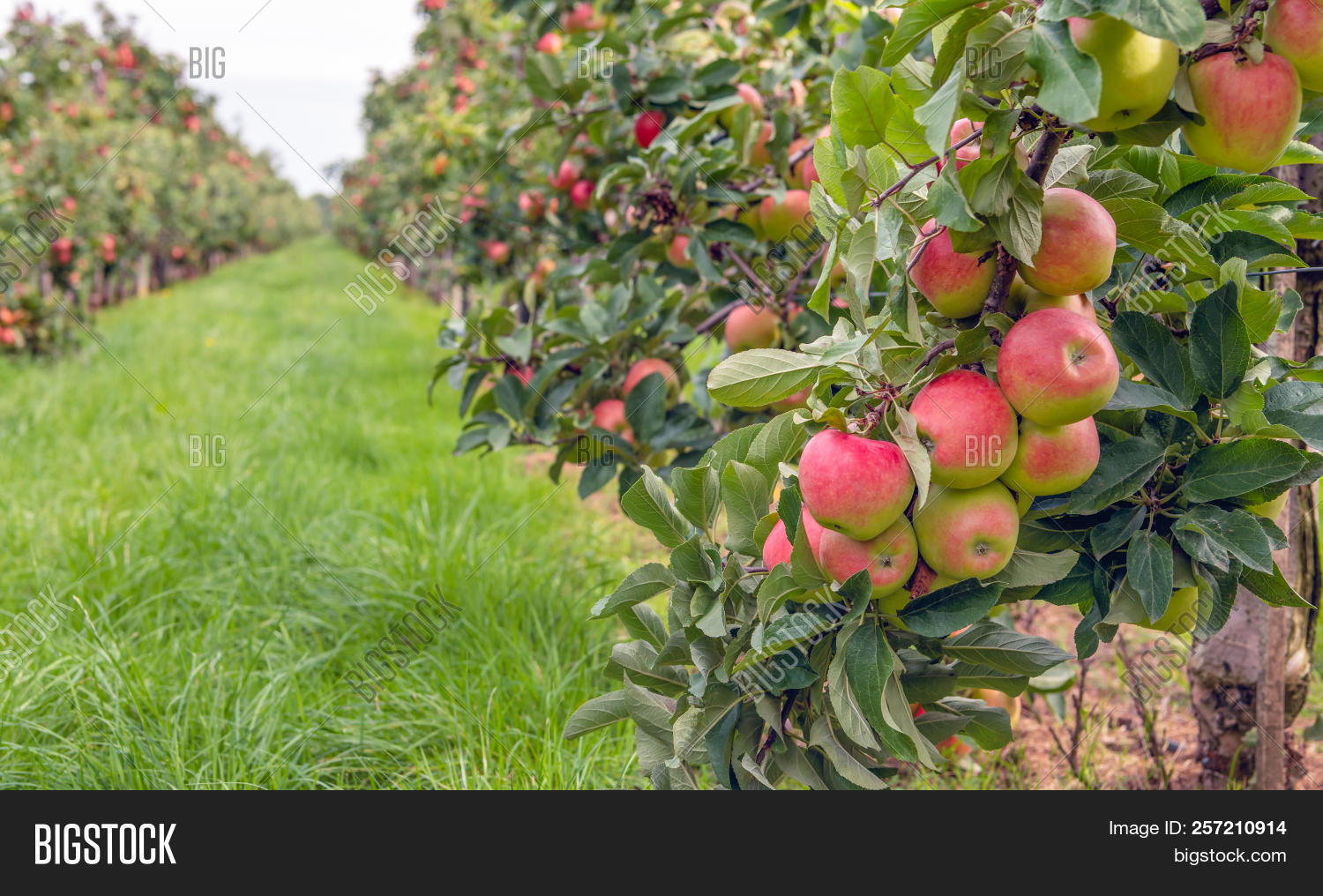 Espaliered Fruit Trees Image Photo Free Trial Bigstock