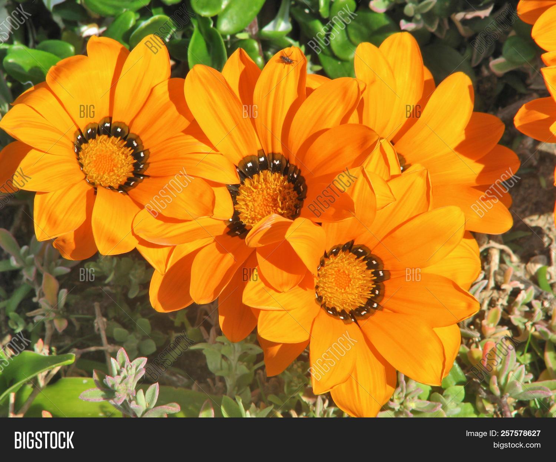 Spring Flowers Orange Image Photo Free Trial Bigstock