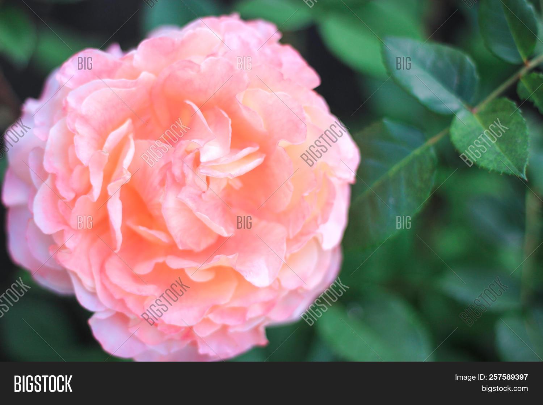 Huge Flower Light Pink Image Photo Free Trial Bigstock