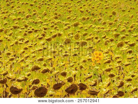 Odd Flowers On A Sunflower Field - Rabe De Las Calzadas, Castile And Leon, Spain