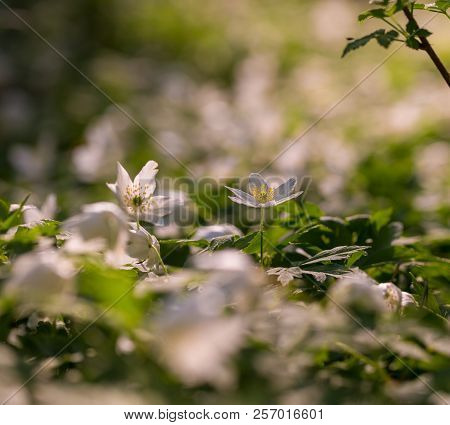 White Anemone Blooming In Spring Forest