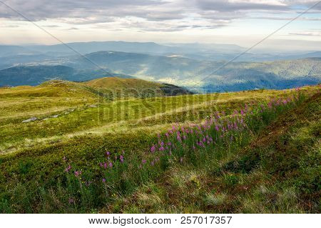 Row Of Purple Flowers On The Hill. Lovely Scenery In Mountains At Sunrise. Fire-weed Among The Grass
