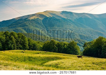 Beautiful Mountainous Countryside Afternoon. Cow Cattle On The Grassy Meadow Near The Beech Forest.
