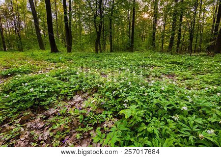 Spring Forest Landscape With White Anemones Blooming. Natural Forest Landscape.