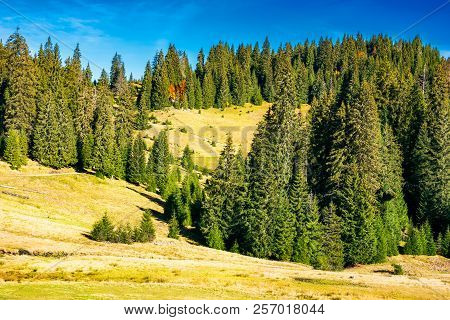 Ancient Spruce Forest On The Hill. Beautiful Scene Of Apuseni Natural Park In Romania