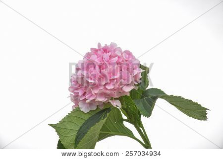 pink hydrangea with leaves