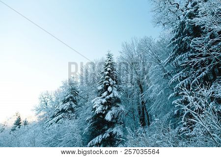 Winter Forest. Snow Covered Trees Woods In Winter Landscape. Sunny Winter Evening Against The Blue S