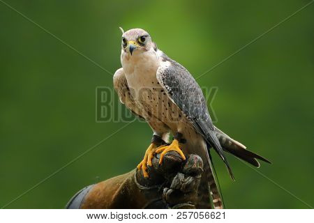 Migrant Falcon Sitting On Falconic Gloves. The Peregrine Falcon Has The Ability To Reach Speeds Over
