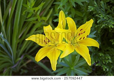 Two Big Beautiful Yellow Garden Faded Lilys