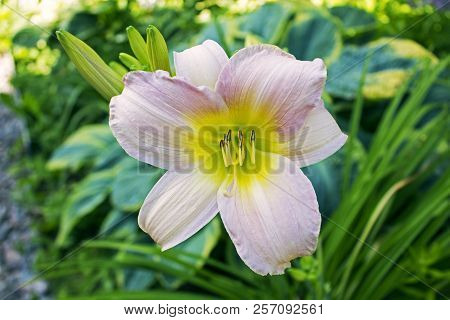 One Big Beautiful Pink Garden Faded Lily
