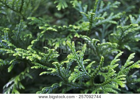 Garden Juniper Branches Pattern On Hot July Sun
