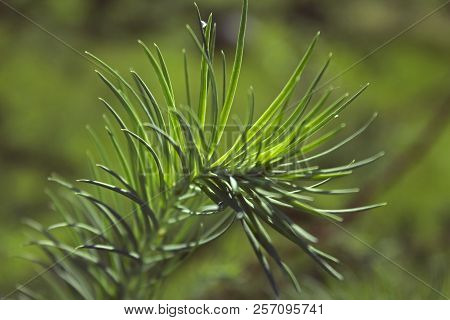 Small Growing Spruce Branch On Green Background