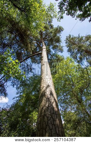 Shadows And Tall Trees. Beautiful Forest Canopy Tree Foliage Growth Reaching For The Sky. Struggle F