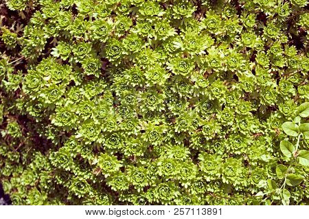 Evegreen Beautiful Moss Pattern On Hot July Sun