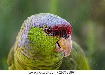 Green, Red, And Gray Parrot Looking To The Side