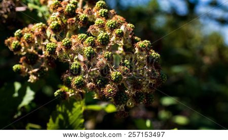 Unripe Green Blackberries Ripening In A Bunch On The Vine