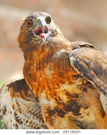 Bird of Prey with Open Mouth poster