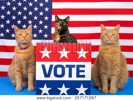 One Tortoiseshell Cat Sitting Behind A Podium With Vote Sign On The Front, Orange Tabby Cat Sitting