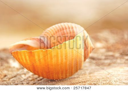 Pretty seashell on shore at dusk