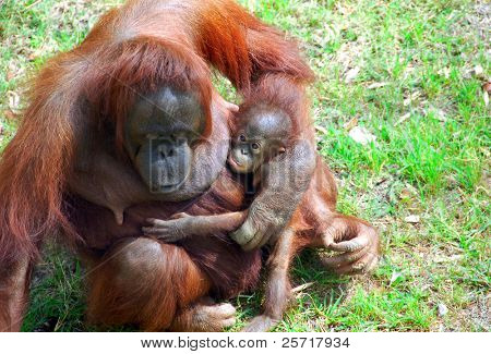 Mother and baby orangutang bonding on grass